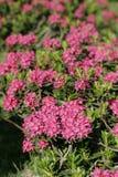 Flor de Alpenrose Foto de Stock
