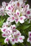 Flor de Alstromeria Foto de archivo libre de regalías