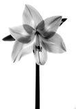 Flor de Amarilis Imagem de Stock Royalty Free
