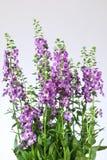 Flor de Angelonia Imagem de Stock Royalty Free
