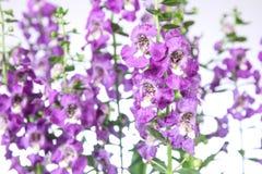 Flor de Angelonia Foto de Stock Royalty Free