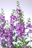 Flor de Angelonia Foto de Stock