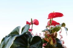Flor de Anturio para o presente Fotos de Stock Royalty Free
