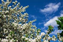 Flor de Apple Fotos de archivo