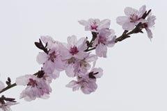 Flor de Apple Imagen de archivo libre de regalías