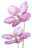 Flor de Apple Fotografia de Stock Royalty Free