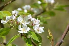 Flor de Apple Fotos de archivo libres de regalías