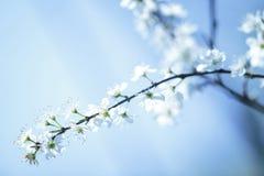 Flor de Apple Fotos de Stock