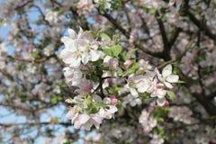 Flor de Apple imagenes de archivo