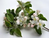 Flor de Apple Imagens de Stock