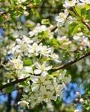 Flor de Apple Foto de Stock Royalty Free