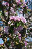 Flor de Apple Fotografía de archivo
