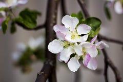 Flor de Apple Foto de archivo libre de regalías