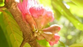 Flor de Apple do Malay video estoque