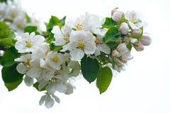Flor de Apple isolada no fundo branco foto de stock royalty free