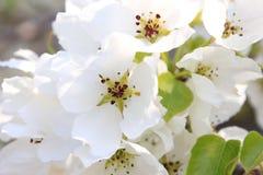 Flor de Apple Primer Fotografía de archivo libre de regalías