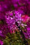 Flor de araña Imagen de archivo libre de regalías