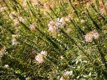 Flor de araña Fotos de archivo