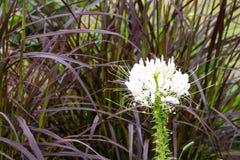 Flor de araña blanca Imagenes de archivo