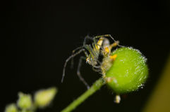 Flor de araña del puente Imágenes de archivo libres de regalías