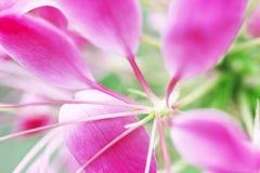 Flor de araña espinosa foto de archivo
