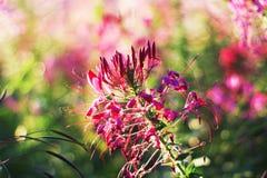 Flor de araña (hassleriana del Cleome) Foto de archivo libre de regalías