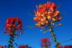 Flor de araña (hassleriana del Cleome Foto de archivo libre de regalías