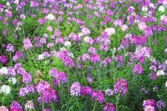 Flor de araña (hassleriana del Cleome) Fotos de archivo libres de regalías