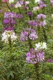 Flor de araña - hassleriana del Cleome en el jardín Fotografía de archivo