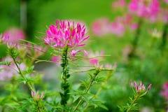Flor de araña hermosa en la floración Fotos de archivo