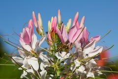 Flor de araña rosada con la abeja de la miel Imagen de archivo libre de regalías