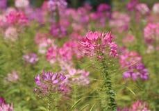 Flor de araña rosada en la floración Imagenes de archivo
