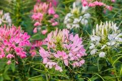 Flor de araña rosada y blanca (hassleriana del Cleome) Fotos de archivo