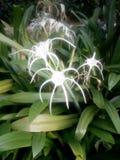 Flor de aranha imagem de stock