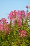 Flor de aranha Imagem de Stock Royalty Free
