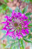 Flor de aranha Foto de Stock Royalty Free