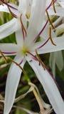 Flor de aranha com formigas Imagens de Stock Royalty Free