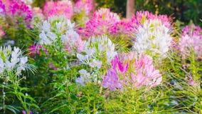 Flor de aranha cor-de-rosa e branca (hassleriana do Cleome) Imagem de Stock