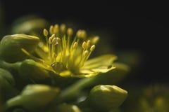 Flor de Arboreum del Aeonium (Crassulaceae) Fotografía de archivo libre de regalías