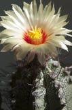 Flor de Astrophytum Fotos de Stock