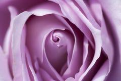 A flor de aumentou Fotografia de Stock Royalty Free