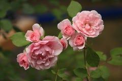 A flor de aumentou Imagem de Stock