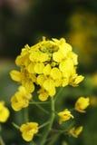 Flor de Awaji Imagem de Stock