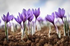 Flor de Azafran Stock Images