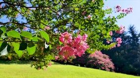 Flor de Baekilhong del Zinnia que florece en la primavera, Busán, Corea del Sur, Asia almacen de metraje de vídeo
