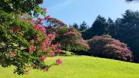 Flor de Baekilhong del Zinnia que florece en la primavera, Busán, Corea del Sur, Asia almacen de video
