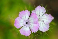 Flor de Barbatus Sweet William del clavel Fotografía de archivo libre de regalías