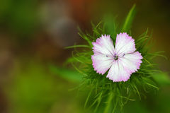 Flor de Barbatus Sweet William del clavel Foto de archivo