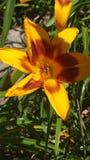 Flor de Beautifil no sol Fotografia de Stock Royalty Free