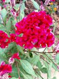 Flor de Belbet Imagem de Stock Royalty Free